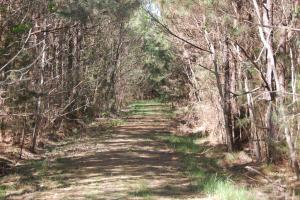 Road through pine plantation (3 of 10)