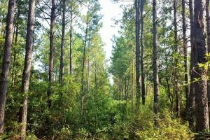 Rocky Point Hunting and Timber Investment in Pender, NC (3 of 22)