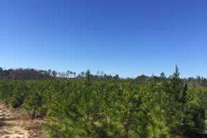 Hunts Mill Timber Investment in Chesterfield, SC (4 of 13)
