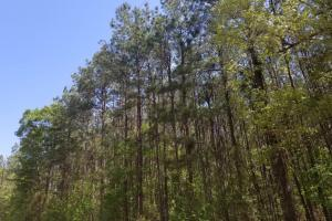 Big Swamp Creek Hunting and Timber Investment in Lowndes, AL (4 of 13)