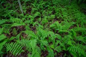 <p>Ferns thrive along one of the creeks that feed into sand branch</p>