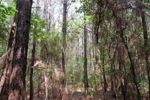<p>Pine Plantation ready to be thinned</p>