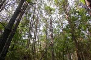 <p>Pine Plantation +- 16 years old</p>