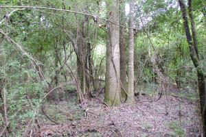 <p>Hardwood trees in Streamside Management Zone</p>