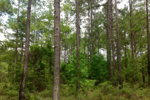 Mature pine timber entering property. #GeorgiaLandForSale (6 of 62)