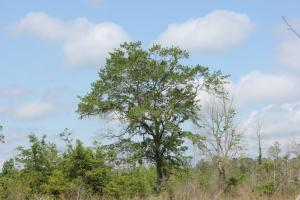 <p>Nice Live Oaks throughout the property.</p>