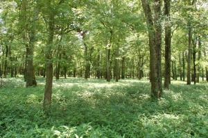 <p>Bottomland Hardwood timber</p>