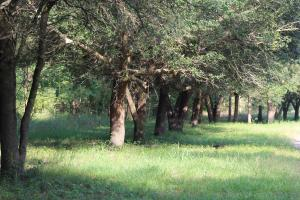 <p>Beautiful Live Oaks Provide a Lot of Acorns</p>