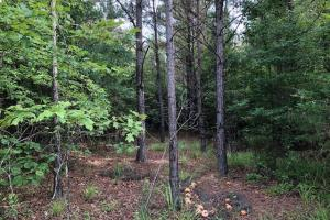 137 ac Hunting / Timber Tract near Big Black River in Montgomery, MS (18 of 41)