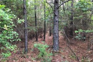 137 ac Hunting / Timber Tract near Big Black River in Montgomery, MS (15 of 41)