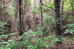 137 ac Hunting / Timber Tract near Big Black River in Montgomery, MS (8 of 41)