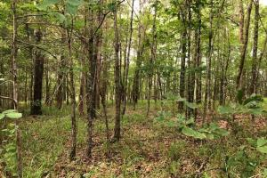 137 ac Hunting / Timber Tract near Big Black River in Montgomery, MS (30 of 41)