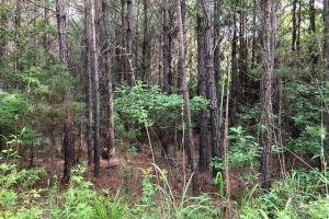 137 ac Hunting / Timber Tract near Big Black River in Montgomery, MS (23 of 41)