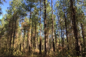 Yellow Pine Tract - Washington County AL