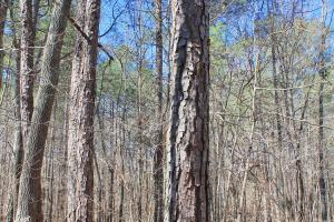 The Longleaf Ridge Tract in Shelby, AL (12 of 20)