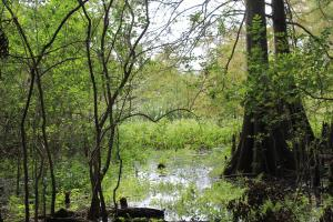Cypress swamp (28 of 60)
