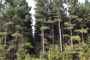 Excellent Loblolly Pine Plantation (32 of 38)