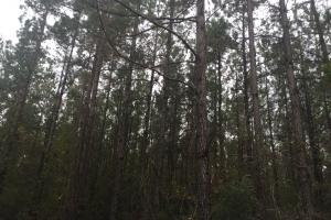 Samuel Road Timber Tract in Horry, SC (13 of 28)