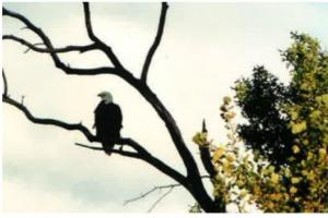 Ag Land; Investment Opportunity; Lakeshore; Hunt; Fish; Hike - I94/Hwy 65, WI:  Bald Eagle Overlooking Pond - Cross Creek Cutback Ranch (11 of 15)