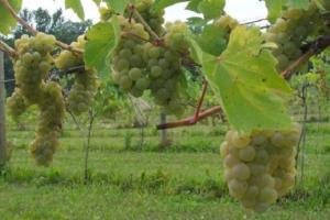Vineyard, Retail Winery & Event Space, Rochester - Olmsted County MN