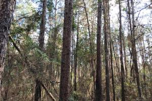 Loblolly Pine (4 of 10)