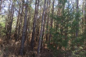 Camden Recreational Tract and Long-Term Timber Investment in Kershaw, SC (42 of 50)