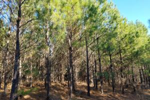 Loblolly Pine (4 of 8)