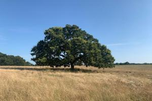 Beautiful large Oak on 66 acres North of Mabank (9 of 15)
