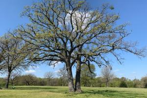 You will find nice large oaks just like this one scattered all over this 230 tract in Van Zandt County.  (19 of 48)