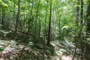 Shaded summer forest, Unrestricted Woodland Acreage near Edneyville (7 of 18)