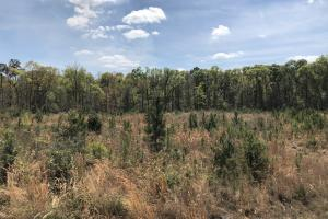 Pineland Woodsville Rd 33 ac Hunting / Rec. Land in Jasper, SC (24 of 36)