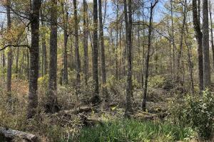 Pineland Woodsville Rd 33 ac Hunting / Rec. Land in Jasper, SC (27 of 36)