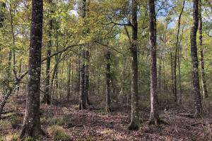 Pineland Woodsville Rd 33 ac Hunting / Rec. Land in Jasper, SC (4 of 36)