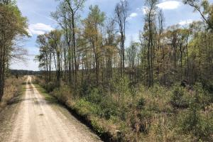 Pineland Woodsville Rd 33 ac Hunting / Rec. Land in Jasper, SC (25 of 36)