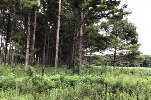 Loblolly Pine Plantation  (9 of 29)