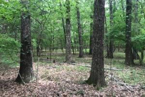 There are numerous large red oaks scattered throughout the eastern portion of the property. (4 of 13)