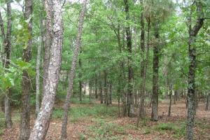 Mature timber stand, long leaf pines in the background. (14 of 26)