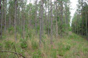 Long leaf pines, once thinned. (13 of 26)