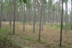 Long leaf pines, two stands 22 +/- acres and 5 +/- acres. (11 of 26)