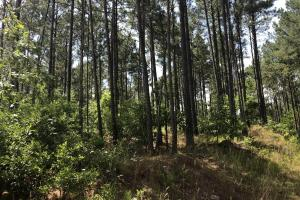41 Acres Ball Rd. Hunting & Timber Tract - Winston County MS