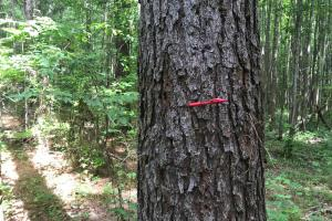 This tract has some saw timber size pine. For comparison, the red pen is 5 inches long.  (3 of 13)