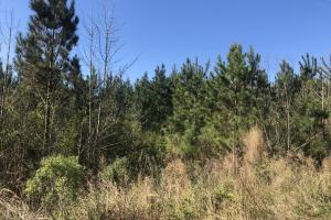 Future Income Producing Pine in Scott, MS (9 of 9)