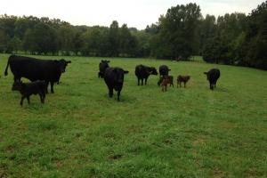Heffner Cattle Farm in Laurens, SC (47 of 96)