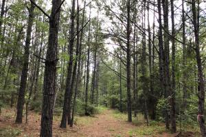25-year-old pine plantation  (4 of 7)