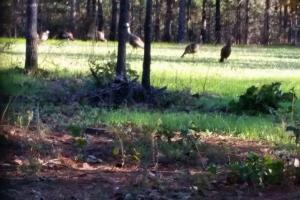 Turkey in food plot (6 of 7)