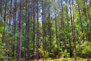 Big Branch Hunting and Timber Investment Tract in Washington, AL (9 of 12)