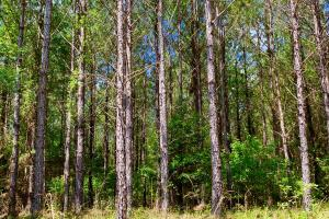 Big Branch Hunting and Timber Investment Tract in Washington, AL (6 of 12)