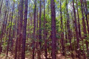 Big Branch Hunting and Timber Investment Tract in Washington, AL (4 of 12)