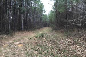 Internal roads and gently sloping topography through once thinned pine plantation throughout most of property. (4 of 7)