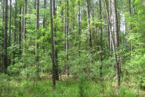 Plantation Loblolly pine thinned first time. (8 of 27)